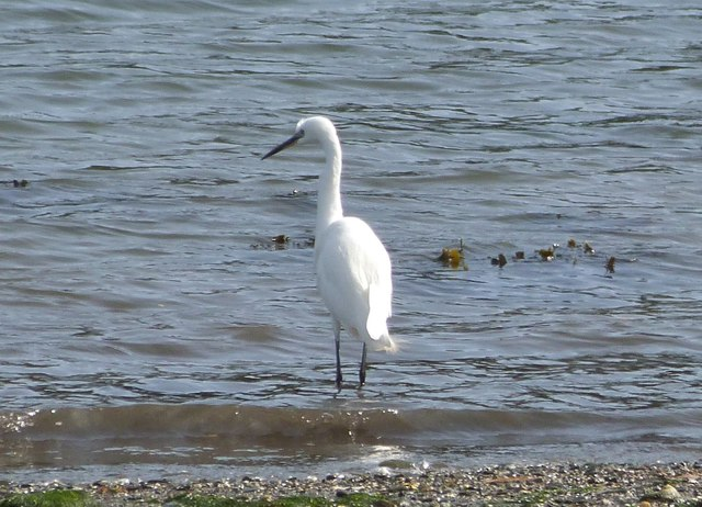 Little Egret. A regular visitor to the beach at Flushing Cove