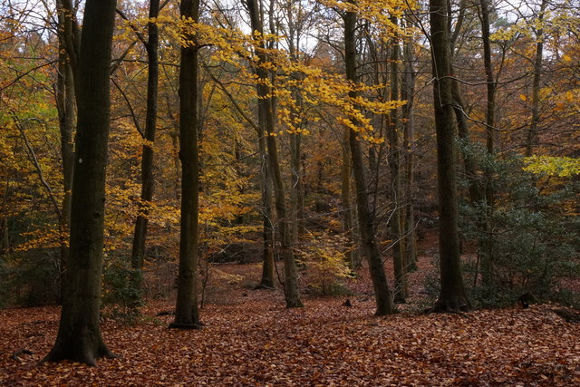 Beech woodland in Alice Holt Forest