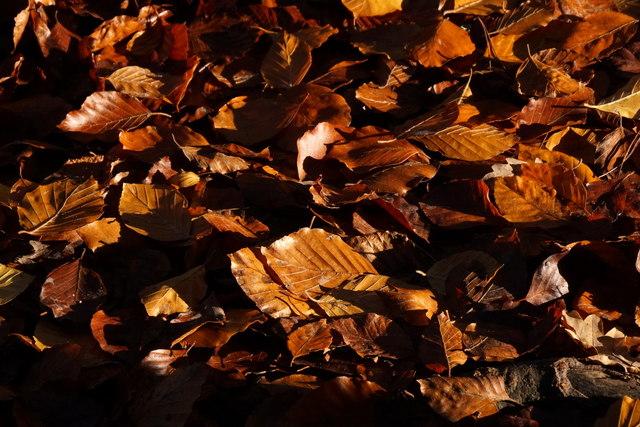 Fallen beech leaves in Alice Holt Forest