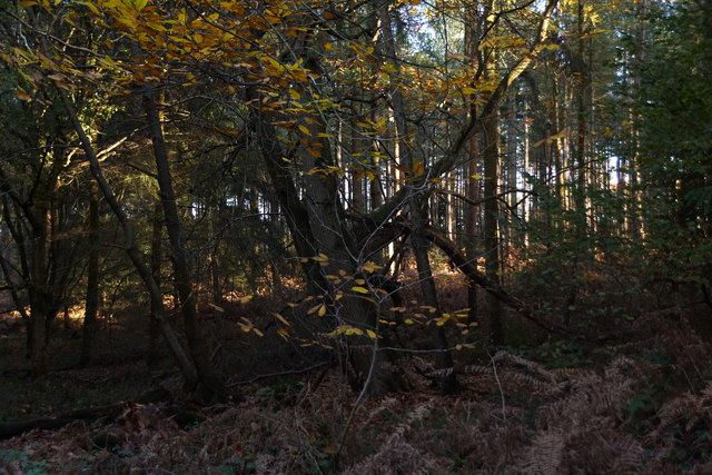 Woodland in Alice Holt Forest
