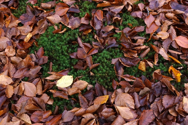 Sphagnum and fallen beech leaves, Alice Holt Forest