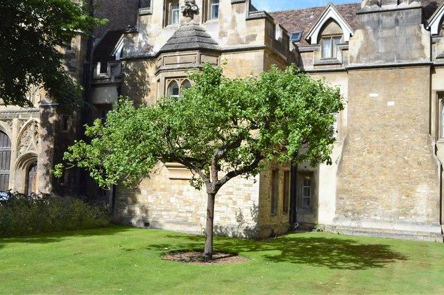 """Newton's"" apple tree, Trinity College"