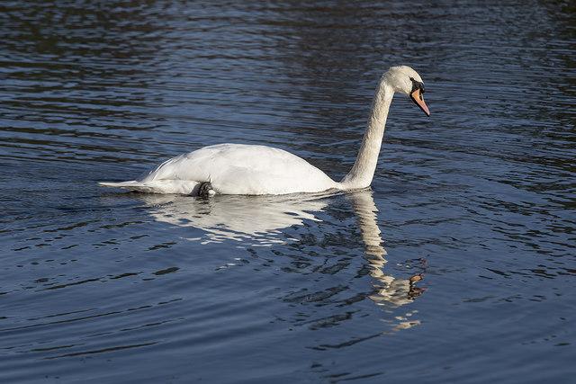 A swan on Cauldshiels Loch