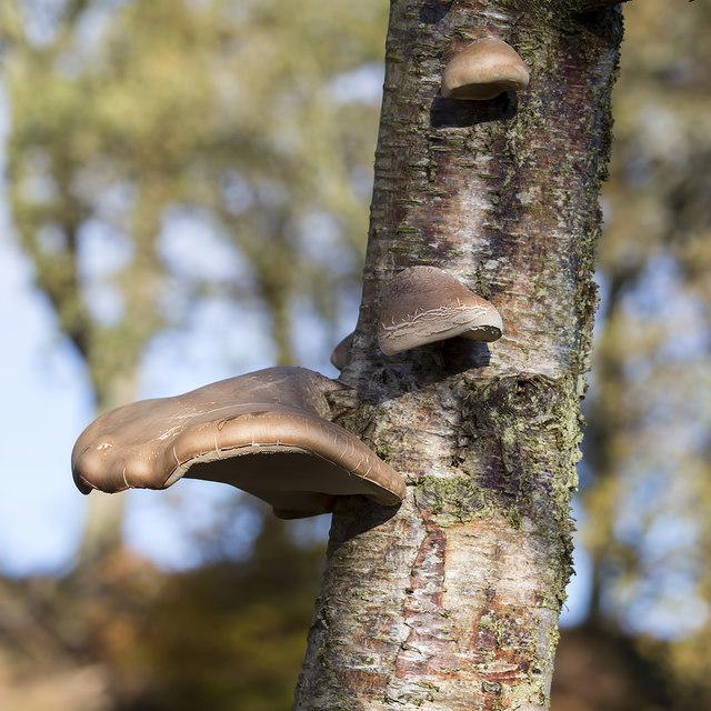 Birch Polypore (Pipto betulinus)