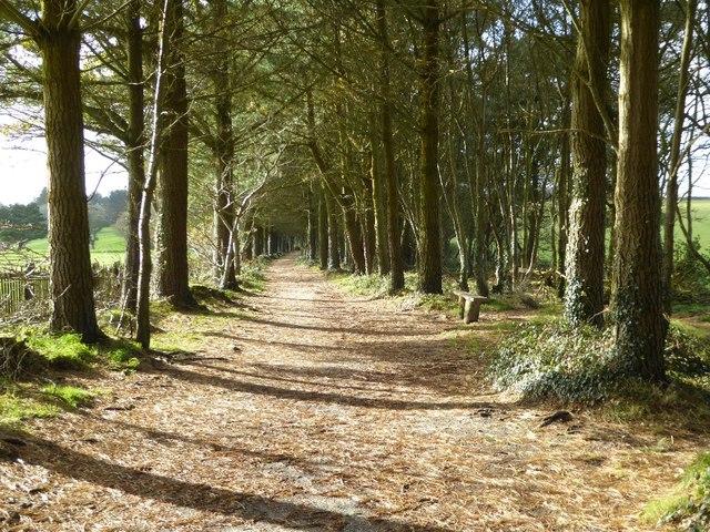 Pine Walk in Tehidy Park