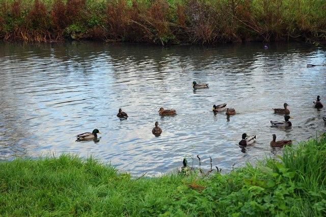 Mallard ducks on the River Windrush, Witney, Oxon