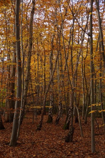 Beech woodland in Great Oaks, Oxshott