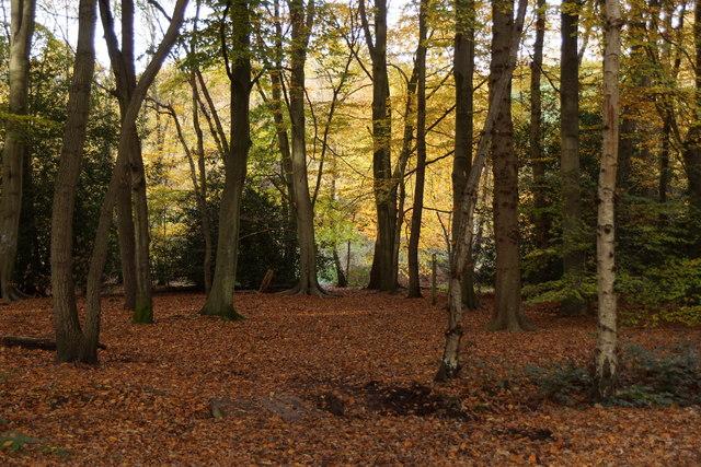 Beech woodland, Esher Common