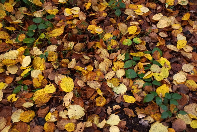 Leaves on the ground on Ashtead Common