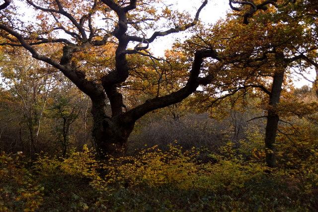 An oak on Ashtead Common