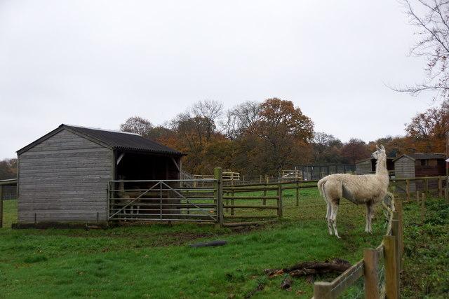 Llama at Godstone Farm