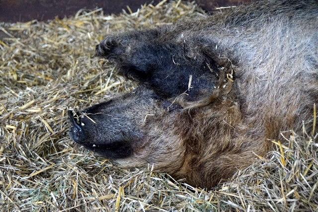 Pig at Godstone Farm