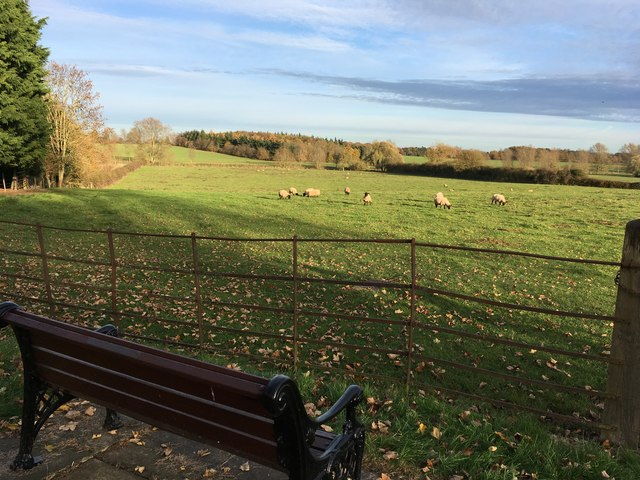 Grazing sheep with bench