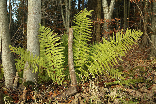 Ferns by the road to Redpath
