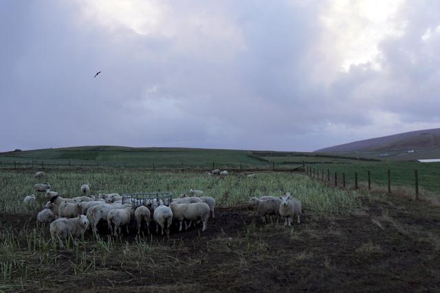 Sheep at Scousburgh