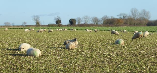 Sheep beside Rudgate