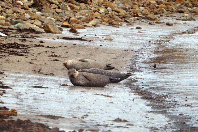 Common Seals on Whaal Ayre, Haroldswick