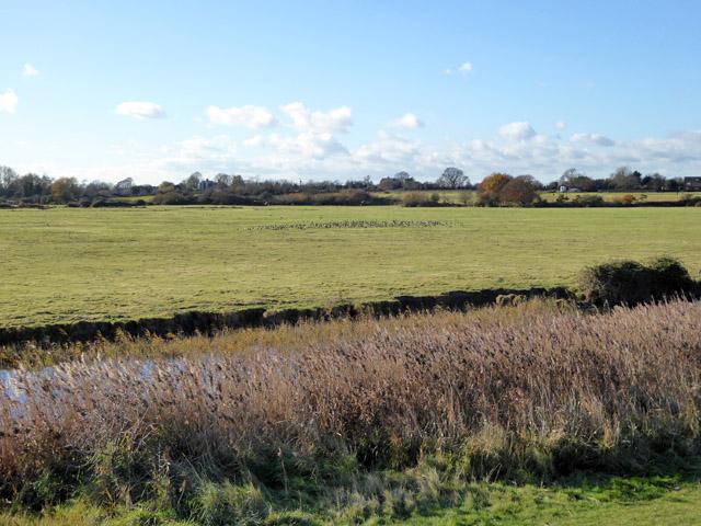 Field with geese, East Mersea