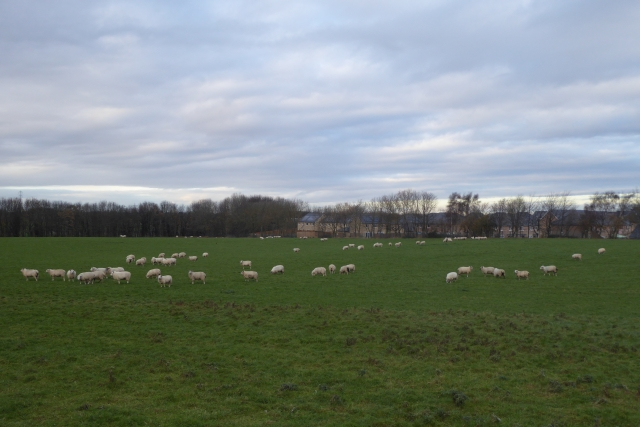 Sheep beside the A659
