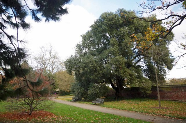Holm Oak In Fullham Palace