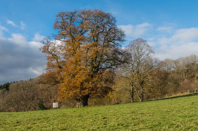 Oak tree, in field north of Burrington