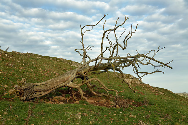 A dead elm tree at Sweethope Hill