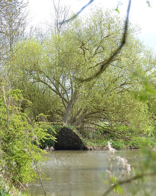 Fallen willow, Newbold Comyn Park, Leamington