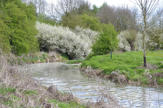 Blackthorn in flower at a bend of the river, Newbold Comyn Park, Leamington
