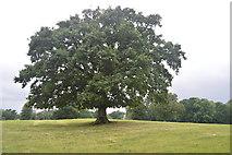 TQ3228 : Oak tree by N Chadwick