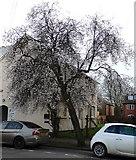 SP3265 : Apple blossom in Leam Terrace, Leamington by Rudi Winter