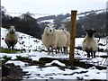 H5691 : Curious sheep, Meenacrane by Kenneth  Allen