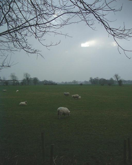 Sheep in Antrobus fields