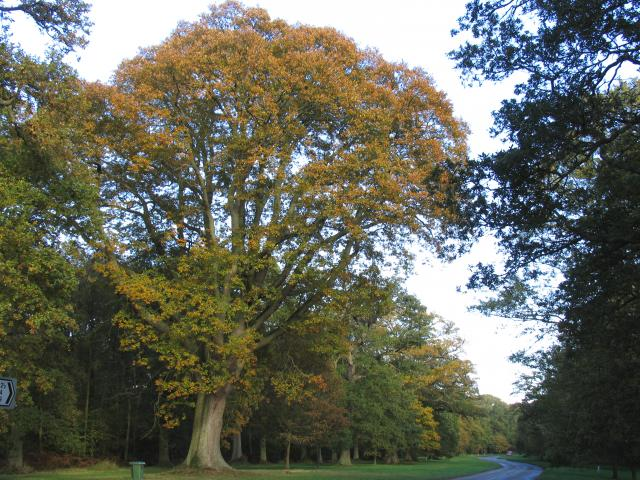 Avenue of Oak Trees between Chapel Row and Southend Bradfield