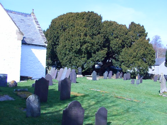 The 4000 year old yew in the churchyard at Llangernyw