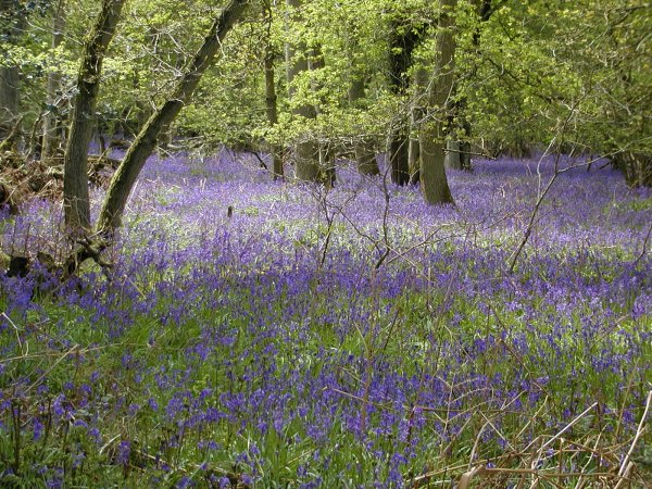 Bluebells in Lower Eversley Copse