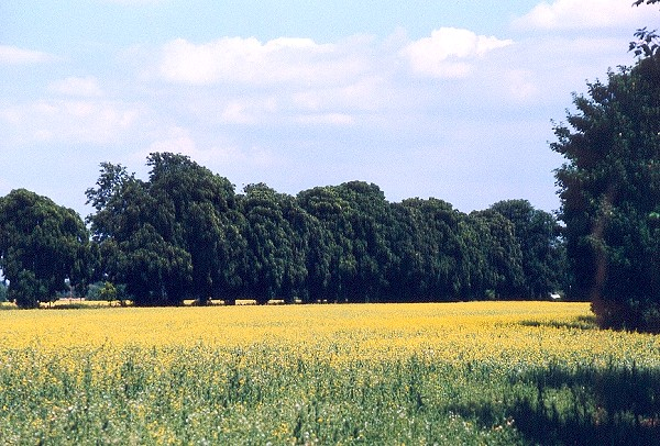 Oilseed rape field near Boveney Lock