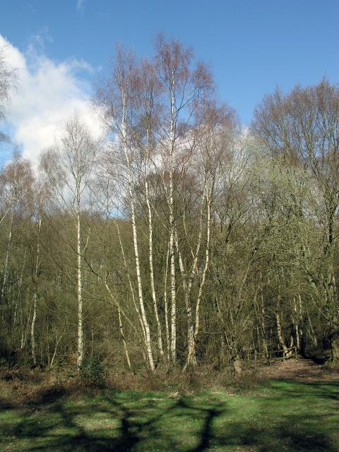 Birches in Northaw Great Wood