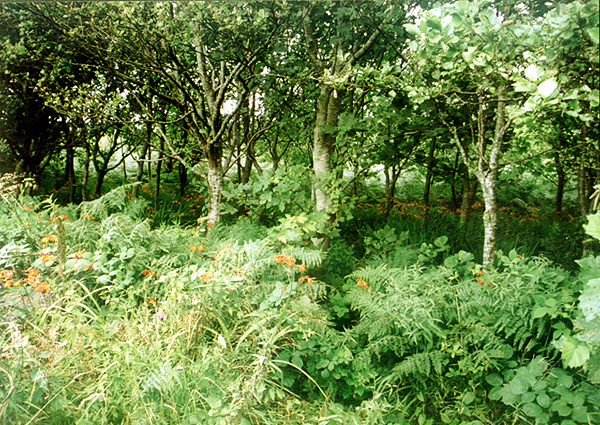 Woodland north of Carn Brea