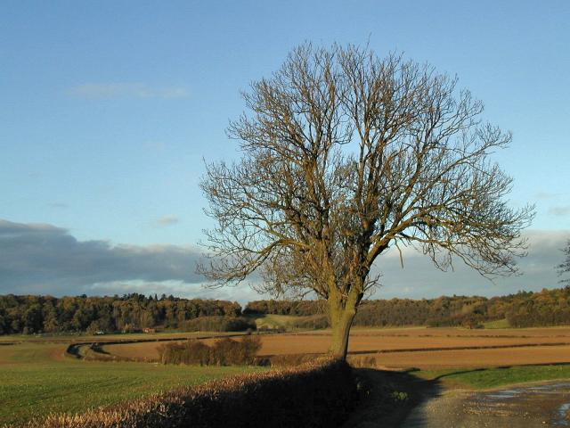 Tree on Wossock Lane