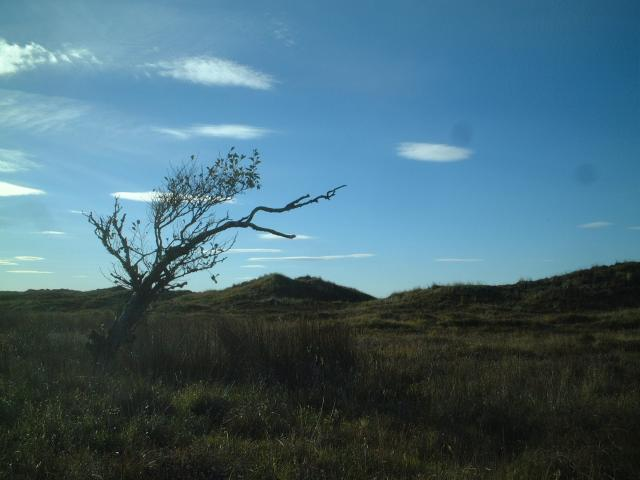 Wind blown coastal tree in Forvie National Nature Reserve