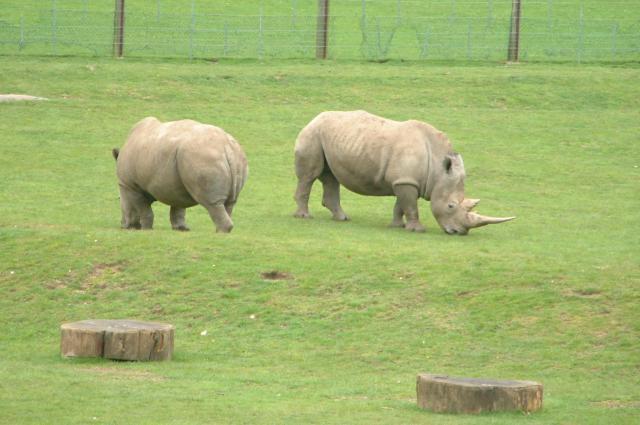 Rhinos at Marwell Zoo