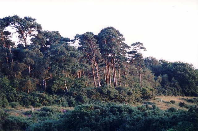 Pine trees, Badminston Common