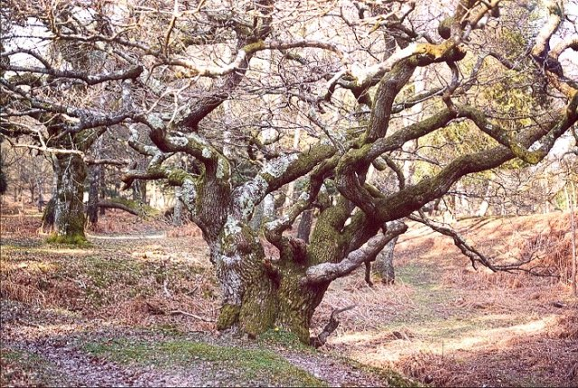 Oak, Woodfidley, New Forest