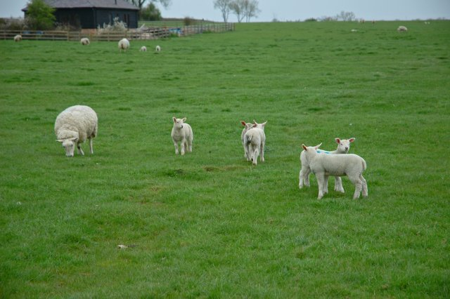 Field of ewes and lambs.