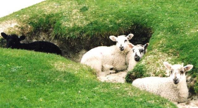 Lambs on the Isle of Iona