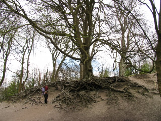 Fascinating Tree en route to Chanctonbury Ring Fort