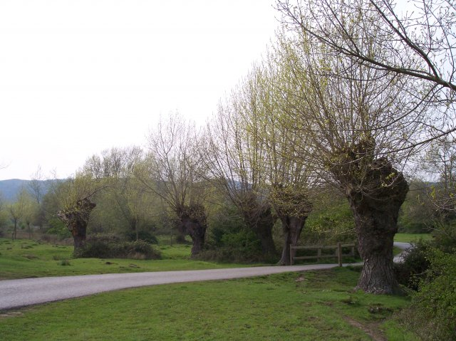 Pollarded Black Poplars, Castlemorton Common