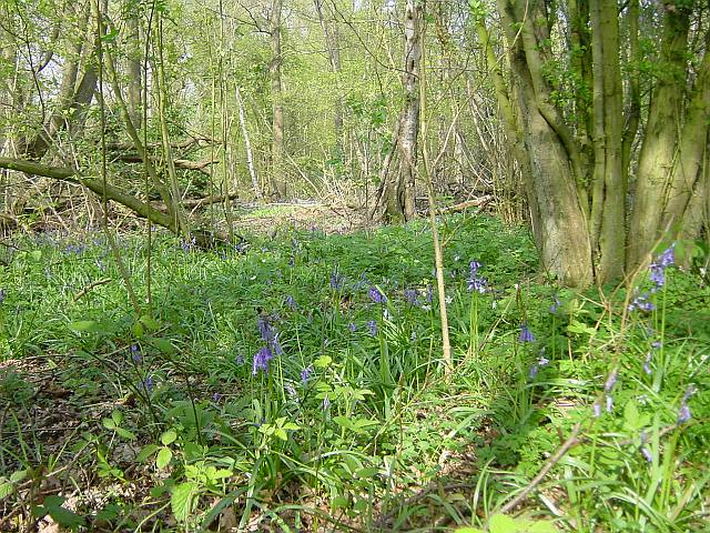 Bluebells in Squirrel Wood