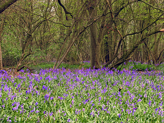 Bluebells in Parkwood
