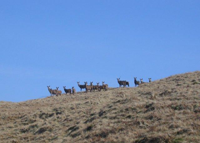 Red deer stags on Cruinn a'Bheinn